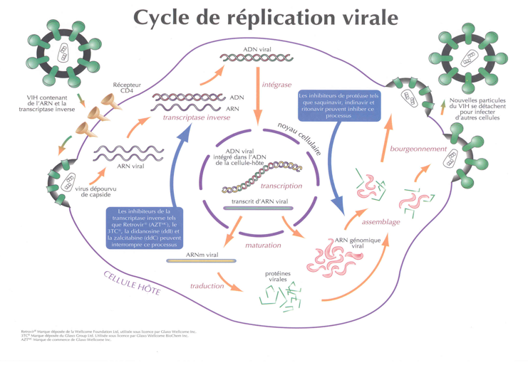 Cylcle de réplication virale