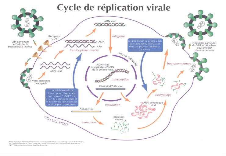 Cylcle de réplication virale
